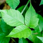 Home remedies for poison ivy from 6 everyday products