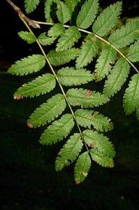 a rowan tree leaves