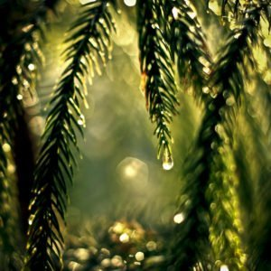 Fresh pine