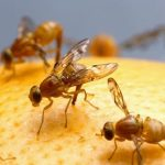 How to get rid of unpleasant fruit flies easily.