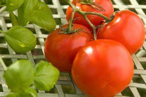 tomatoplant[1]