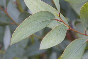 eucalyptus-pauciflora-subsp-niphophila-snow-gum-126561695-5888fbb55f9b5874ee75c907[1]